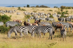 Great Migration in Maasai Mara National Park, Kenya
