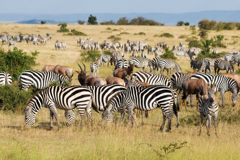 Great Migration in Maasai Mara National Park, Kenya